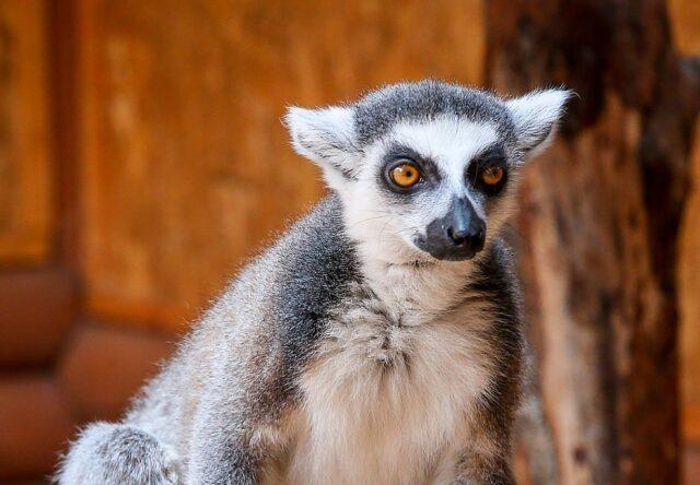 v-berdyanskom-zooparke-safari-lemurov-pereveli-v-novyj-voler
