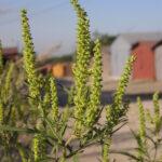 В Запорожье закупали нелегальные химикаты для борьбы с амброзией