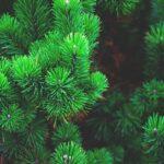 В Запорожье для продажи подготовили 11 тысяч новогодних елок