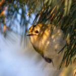В Запорожье заметили самую маленькую птицу в Европе