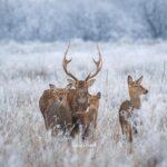 Запорожский фотограф заснял семейство оленей на острове Хортица