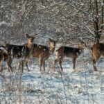 Запорожский фотограф снял диких оленей на Хортице