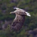 В Запорожской области спасли дикого белохвостого орлана