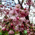 В Запорожском ботаническом саду цветут деревья сакуры