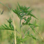 Как в Запорожье планируют бороться с карантинными растениями